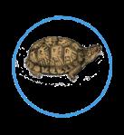 Box Turtle Reporting Virginia